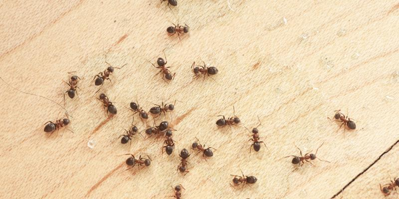 How to Identify Ants