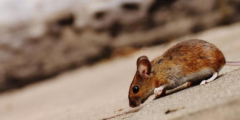 brown mouse crawling across pavement